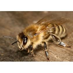 essaim d abeille sur 5 cadres