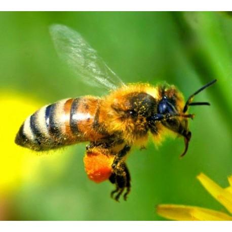 Essaim d'abeilles Buckfast sur 6 cadres
